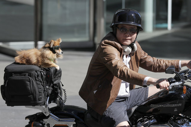 A motorcyclist carries a goggle-wearing dog as a passenger while driving in Sydney, Tuesday, September 7, 2021. (Photo by Rick Rycroft/AP Photo)