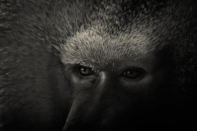 Baboon. (Photo by Alex Teuscher/BNPS)