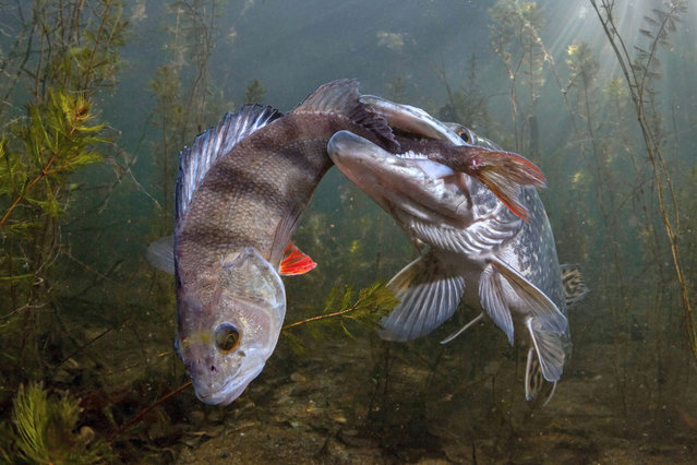 """Wildlife third place: Viktor Vrbovský, Czech Republic. A pike tries to eat a large perch. """"How did this end? I don't know. The situation didn't change much in an hour"""", Vrbovsky said. """"I had to emerge because I was running out of air"""". (Photo by Viktor Vrbovský/TNC Photo Contest 2021)"""