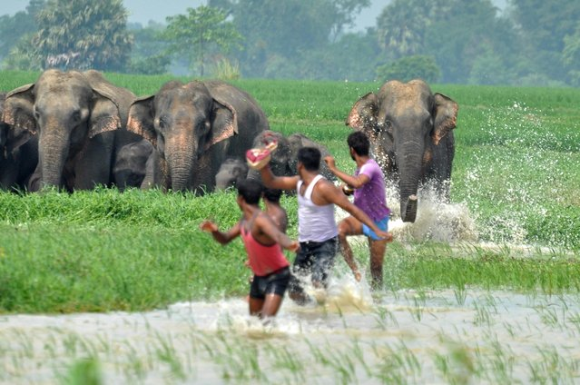These men are chased by the defiant elephants on May 4, 2013. Taken by Biplab Hazra in Bishnupur, India, the images show the extreme lengths the inhabitants of the town go to to deter elephants from damaging their crops and property. Elephants encroaching out of their habitats is an increasingly common occurrence with deforestation in much of India. (Photo by Biplab Hazra/Caters News Agency)