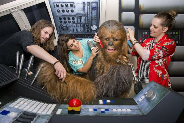 Members of staff put the finishing touches to the wax figure of Star Wars character Chewbacca at the Star Wars At Madame Tussauds attraction in London on May 12, 2015. (Photo by Justin Tallis/AFP Photo)