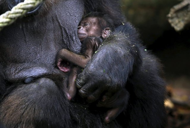 """A newly born Western Lowland Gorilla baby is held by its Mother """"Frala"""" in their enclosure at Taronga Zoo in Sydney, Australia, May 19, 2015. (Photo by David Gray/Reuters)"""
