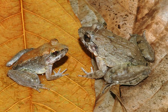 """A male (L) and female Indonesion frog (Limnonectes larvaepartus) are seen in Sulawesi in this undated handout picture obtained by Reuters May 21, 2015.  L. larvaepartus is one of SUNY College of Environmental Science and Forestry's """"Top 10"""" species discovered in 2014. (Photo by Jimmy A. McGuire/Reuters)"""