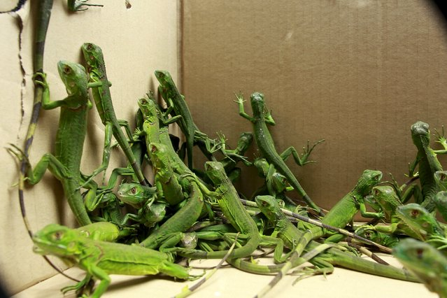 Rescued baby iguanas are pictured in a cardboard box, in an office of the Ministry of Environment in San Jose, May 25, 2015. (Photo by Juan Carlos Ulate/Reuters)