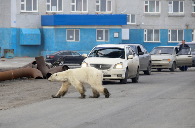 A stray polar bear is seen in the Siberian industrial city Norilsk, Russia on June 17, 2019. The hungry bear is hundreds of miles from its natural habitat. (Photo by Irina Yarinskaya/Reuters/Zapolyarnaya Pravda)