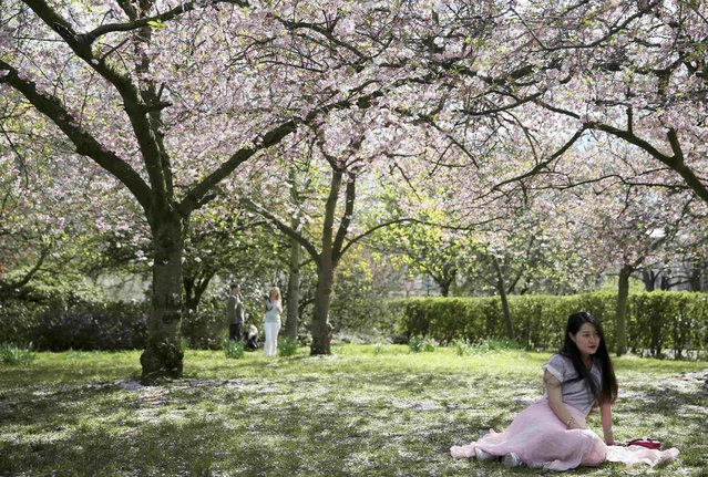 A woman poses for a photograph under a tree in blossom on a sunny day in Regent's Park in London, Britain April 17, 2016. (Photo by Neil Hall/Reuters)