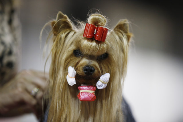 Heartbreaker, a female Yorkshire Terrier is prepared at the make up area during the World Dog Show in Rho, near Milan, Italy, Saturday, June 13, 2015.  (AP Photo/Luca Bruno)
