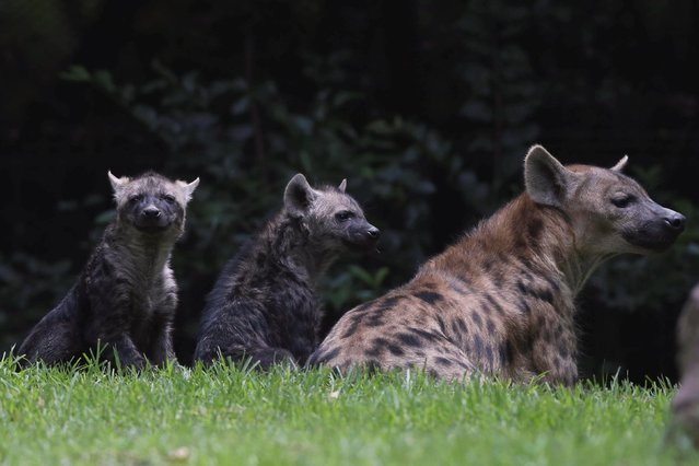 Two Mexican hyena cubs are pictured with their mother during a media tour in Chapultepec Zoo in Mexico City, Mexico on July 25, 2019. (Photo by Edgard Garrido/Reuters)