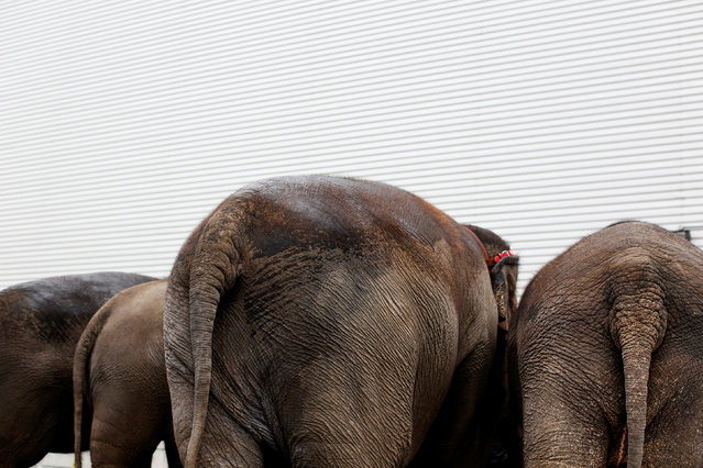 """Elephants wait to enter the arena at Ringling Bros and Barnum & Bailey Circus' """"Circus Extreme"""" show at the Mohegan Sun Arena at Casey Plaza in Wilkes-Barre, Pennsylvania, U.S., April 29, 2016. (Photo by Andrew Kelly/Reuters)"""