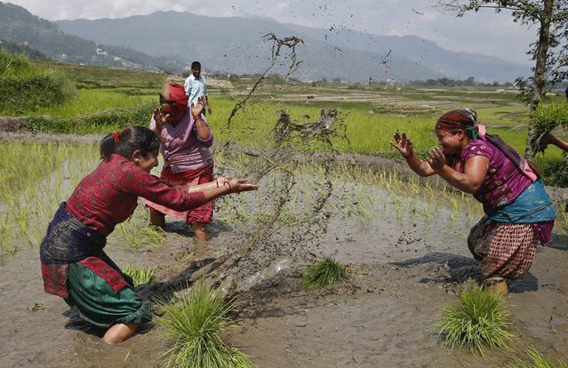 Nepalese women farmers spray mud water at each other while planting rice in a paddy field during the National Paddy Day in the village of Jitpur in Kathmandu, Nepal, 30 June 2015. On this day, known as Asar Pandra, farmers begin the annual rice planting season and mark the day with various festivities such as preparing rice meals with muddy water, spreads mud among farmers. (Photo by Narendra Shrestha/EPA)