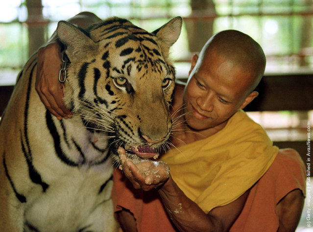 A tiger is fed a meal of dog food and chicken bones at the Wat Pa Luangta Bua monastery in Kanchanaburi, Thailand