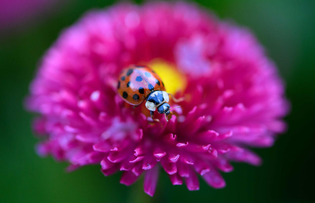 A ladybird rests on a daisy in Munich, southern Germany on June 13, 2019. (Photo by Sven Hoppe/AFP Photo/dpa)