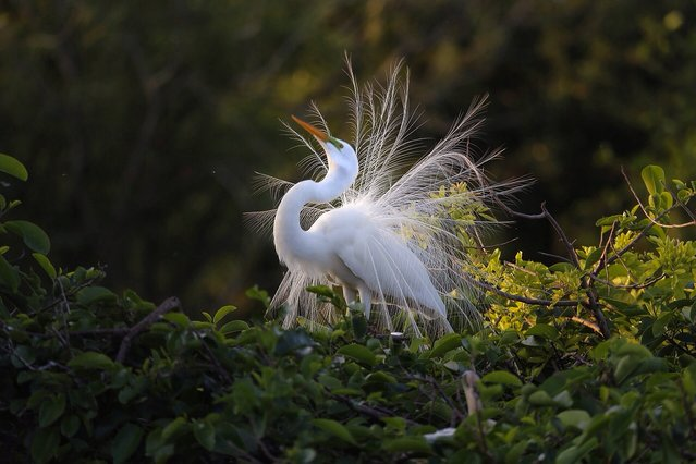 """""""Egret display"""". The eternal cycle of Spring embodied in the mating display of the the Great Egret. Photo location: Delray beach, Florida. (Photo and caption by Paul Arnold/National Geographic Photo Contest)"""