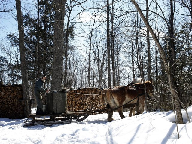 Wayne Pelton and his team of Belgian draft horses head into the forest to collect sap at their old fashioned sugar bush camp in Burritts Rapids, Ontario, Canada, 03 April 2014. (Photo by Stephen Morrison/EPA)