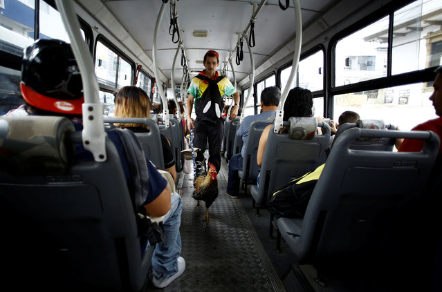 "Martin Herrera, boards a bus with his favorite rooster ""Paquito"" in San Jose, Costa Rica April 27, 2017. (Photo by Juan Carlos Ulate/Reuters)"