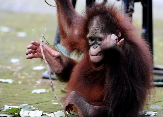 Damai, 3 years old Bornean orang utan plays courtyard at Surabaya Zoo as he prepares to be released into the wild on May 19, 2014 in Surabaya, Indonesia. The two baby orangutans, brothers, were found in Kutai National Park in a critical condition having been abandoned by their mother on May 14, 2014. (Photo by Robertus Pudyanto/Getty Images)