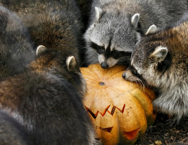 Raccoons eat a pumpkin during Halloween celebrations at the zoo in Kiev, Ukraine on October 29, 2019. (Photo by Gleb Garanich/Reuters)