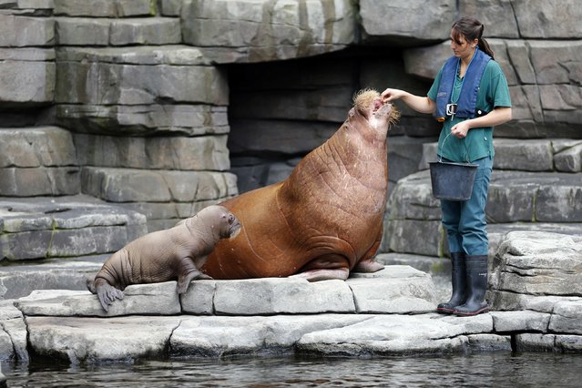 Animal keeper Lisa Voss feeds Dyna the walrus as she and her calf are presented to the public in Hamburg July 2, 2014. The newborn nameless calf was born June 15 in Hagenbeck Zoo, in the northern German city of Hamburg. It is the first and only walrus ever born in Germany. (Photo by Morris Mac Matzen/Reuters)