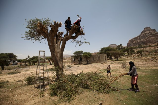 A woman with here nephew cut branches from a tree for firewood near Yemen's capital Sanaa August 6, 2015. Residents in the Yemeni capital Sanaa are stocking up on rare food and fuel supplies after the government in exile decided to divert aid ships from the Houthi rebel-held north to loyalist areas farther south. (Photo by Mohamed al-Sayaghi/Reuters)