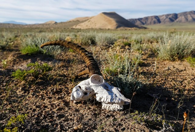 A skull of gazelle is seen in front of the singing sand, the 150-metre-high by three-kilometre-long dune that generates a low-pitched, organ-like rumble in dry weather, in Altyn-Emel national park in Almaty region, Kazakhstan, May 12, 2016 (Photo by Shamil Zhumatov/Reuters)
