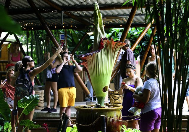 Visitors to Tropical Bamboo Nursery and Garden take photos of the blooming corpse flower. (Photo by Bill Ingram/The Palm Beach Post)