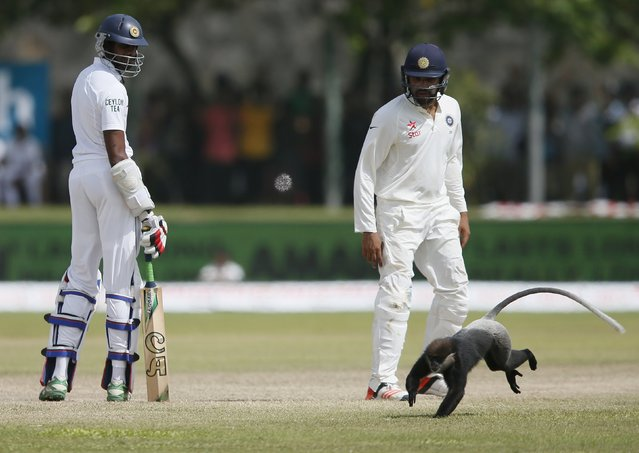 Sri Lanka's Jehan Mubarak (L) and India's Rohit Sharma watch as a monkey runs past them middle of the ground during the third day of their first test cricket match in Galle August 14, 2015. (Photo by Dinuka Liyanawatte/Reuters)