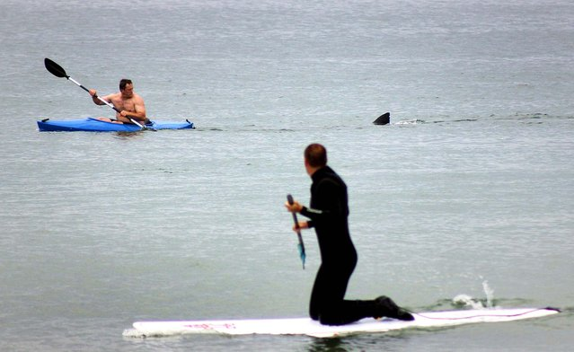 Walter Szulc Jr., in kayak at left, looks back at the dorsal fin of an approaching shark at Nauset Beach in Orleans, Mass. in Cape Cod on Saturday, July 7, 2012