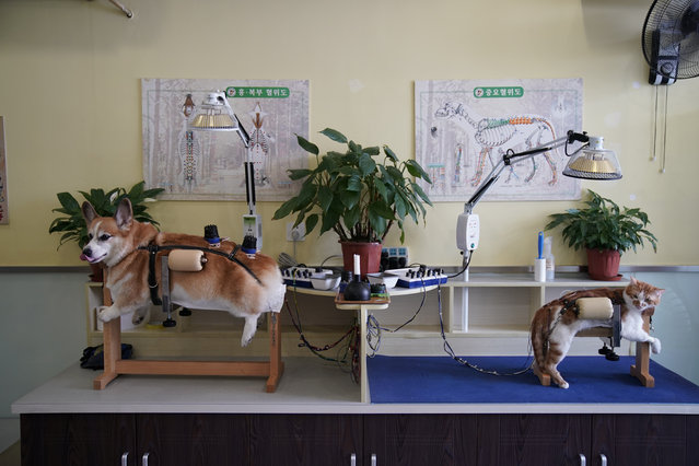 A dog and a cat receive treatment at Shanghai TCM (Traditional Chinese Medicine) Neurology and Acupuncture Animal Health Center, which specialises in acupuncture and moxibustion treatment for animals in Shanghai, China on August 21, 2017. (Photo by Aly Song/Reuters)