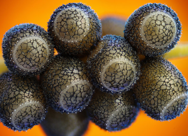 Sixth prize winner: A cluster of stink bug eggs, by Haris Antonopoulos from Athens, Greece. (Photo by Olympus BioScapes)