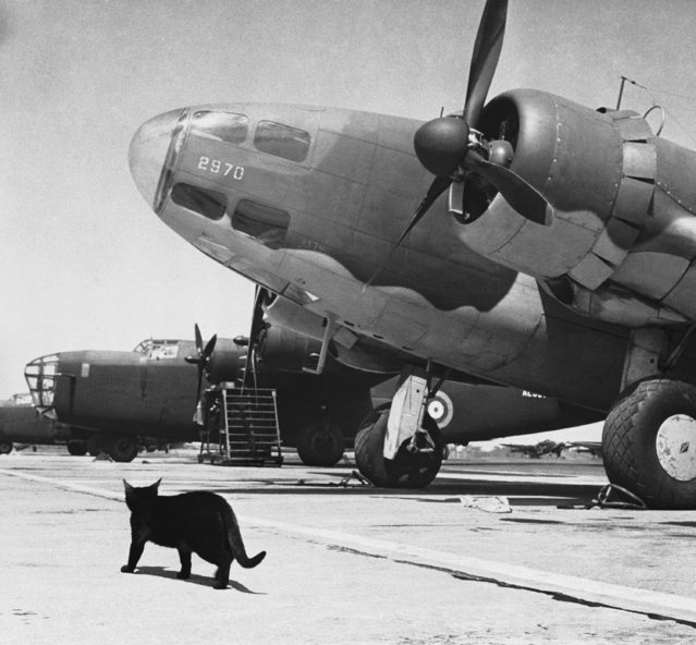 At the Ferry Command airport near Montreal, Canada, a black cat walks past a huge bomber, June 2, 1942. Cats are kept at the airdrome to catch field mice which gnaw away the fabric of aircraft. (Photo by AP Photo)
