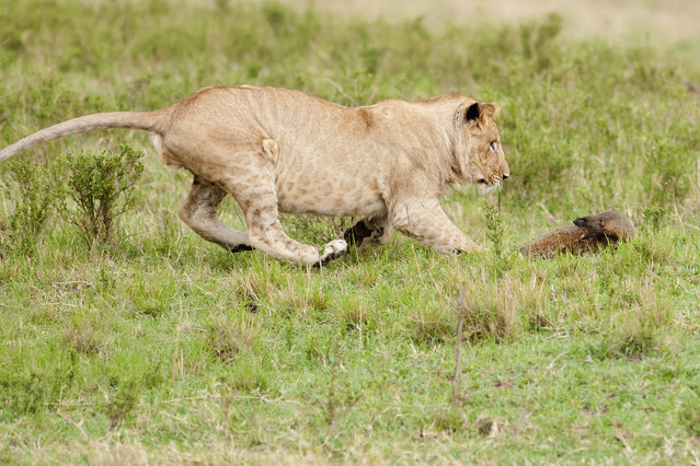 A lion chases a mongoose on September 10, 2011 in Maasai Mara, Kenya. Four lions were left with their tails between their legs when a mongoose bravely took on the predators. Despite being under two feet tall, the aggressive mongoose growled at the felines and even bit one on the nose. (Photo by Jerome Guillaumot/Barcroft Media)