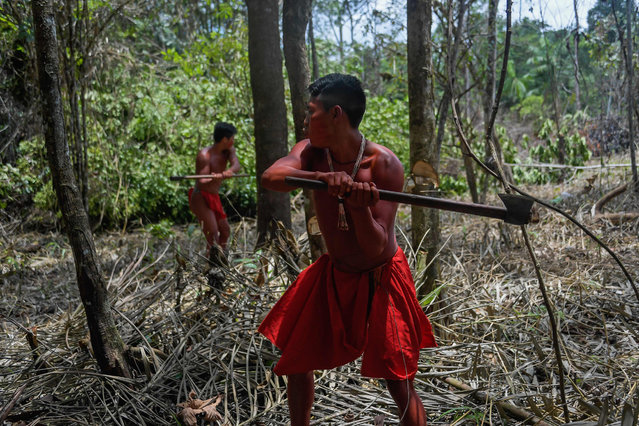 Waiapi men cut down trees to make manioc field, at the Waiapi indigenous reserve in Amapa state in Brazil on October 14, 2017. (Photo by Apu Gomes/AFP Photo)