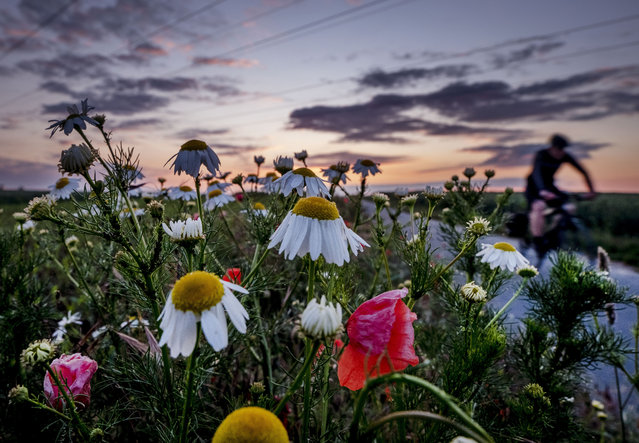 A man rides his bike along flowers on a small road on the outskirts of Frankfurt, Germany, early Monday, June 8, 2020. (Photo by Michael Probst/AP Photo)