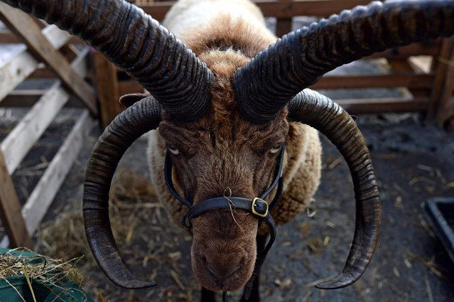 A close-up view of a Manx Loaghtan sheep in its pen during the 30th Masham Sheep Fair in Masham, Britain, September 27, 2015. The Fair attracts thousands of visitors over the weekend offering many different varietys of sheep from across Britain on sale. (Photo by Nigel Roddis/EPA)