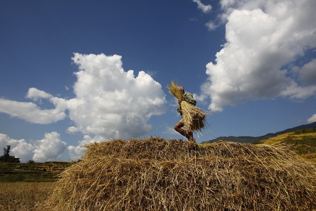 A Nepalese farmer piles up hay after removing paddy crop from the plant during a harvest as he works in a rice field in Katmandu, Nepal, Monday, October 27, 2014. Agriculture is the main source of food, income, and employment for the majority of people in this Himalayan nation. (Photo by Niranjan Shrestha/AP Photo)