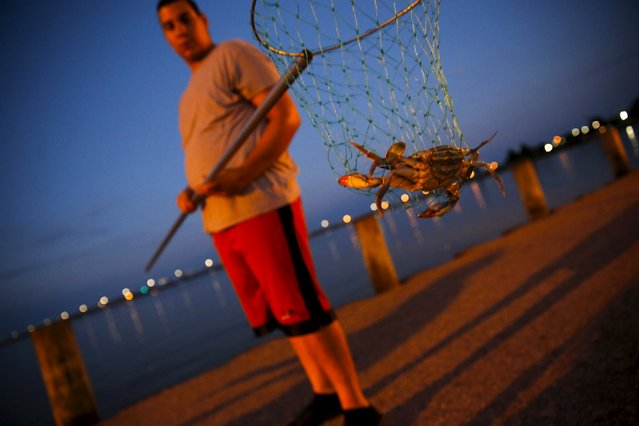 Josue Vega nets crabs one-by-one with his family at a parking lot abutting Long Wharf Park in Cambridge, Maryland August 26, 2015. (Photo by Jonathan Ernst/Reuters)