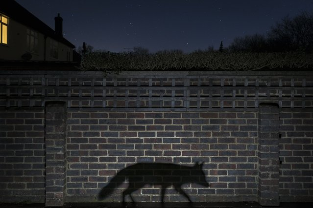 A snatched glimpse or a movement in the shadows is how most people see an urban fox lurks in a back garden in Surrey, England. This shot conveys a sense of living in the shadows. (Photo by Richard Peters/2015 Wildlife Photographer of the Year)