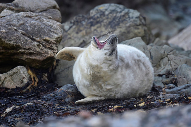 "A seal pup, known locally as ""Snowflake"" is seen amongst the rocks, in Deer Park, Marloes, Pembrokeshire, Wales, Britain on October 15, 2020. (Photo by Rebecca Naden/Reuters)"