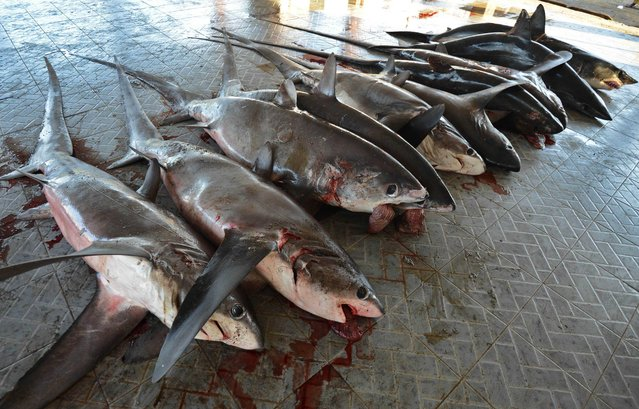 This picture taken on November 9, 2014 shows sharks for sale at a traditional market in Tanjung Luar in Lombok, West Nusa Teggara. (Photo by Sonny Tumbelaka/AFP Photo)
