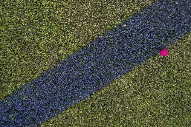 An aerial view shows a stroller walking with a pink umbrella in a field with blue and yellow plants in Cologne, western Germany, on October 13, 2016. (Photo by Federico Gambarini/AFP Photo/DPA)