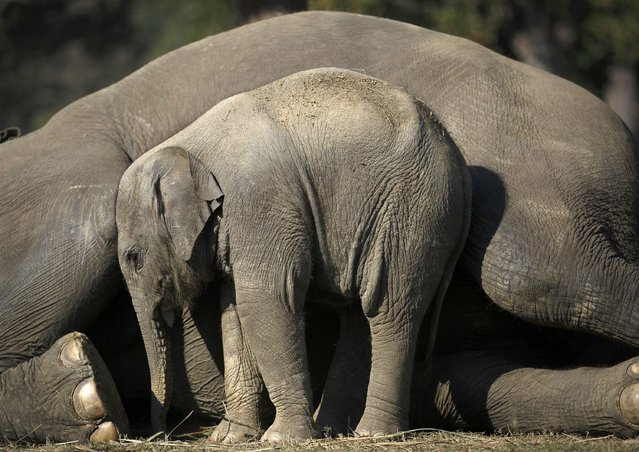 A one and a half months old baby elephant stands close to its mother as she lies down in Chitwan National Park in Chitwan, south of Kathmandu December 30, 2014. (Photo by Navesh Chitrakar/Reuters)