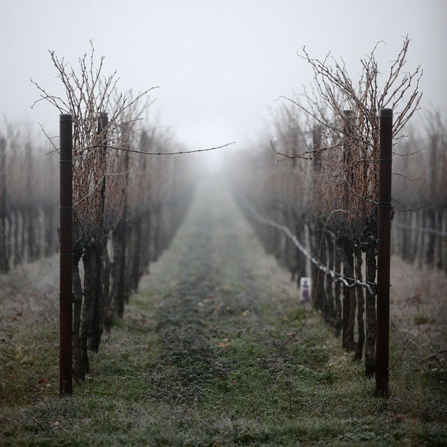 """The Flirt"". Caught these two flirting grape vines in Napa Valley California one early misty morning. One vine with it's ""finger"" curled up like a seductress saying, come over to my row. The other vine reaches out to comply. Location: Napa, California, USA. (Photo and caption by Brian Yen/National Geographic Traveler Photo Contest)"