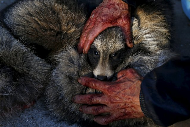 A worker holds the head of a fox while killing it with electricity for its fur at a fox farm in Nanzhuang village, Shandong province, China, December 11, 2015. There are over 60 households in the village still raising foxes, raccoon dogs and other animals for the fur trade. China is the world's largest fur producer and exporter, according to state media. (Photo by William Hong/Reuters)