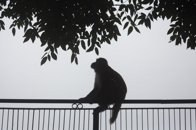 A macaque is silhouetted against a thick fog in Dharmsala, India, Sunday, August 12, 2018. Fog is common during the monsoon season in this mountain region. (Photo by Ashwini Bhatia/AP Photo)