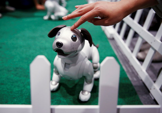 A owner pets her AIBO robot dog at Sony Corp's entertainment robot AIBO's fan meeting in Tokyo, Japan on August 26, 2018. (Photo by Kim Kyung-Hoon/Reuters)