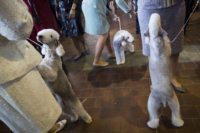 Bedlington Terriers line up for judging during the 139th Westminster Kennel Club's Dog Show in Manhattan, New York February 17, 2015. (Photo by Brendan McDermid/Reuters)