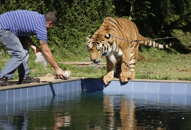 A tiger handler holds out a piece of meat for a tiger named Tom over a swimming pool in the backyard Tom's caretaker Ary Borges in Maringa, Brazil, Thursday, September 26, 2013. To date, they've had no problems with Borges' animals attacking anyone or getting loose. (Photo by Renata Brito/AP Photo)
