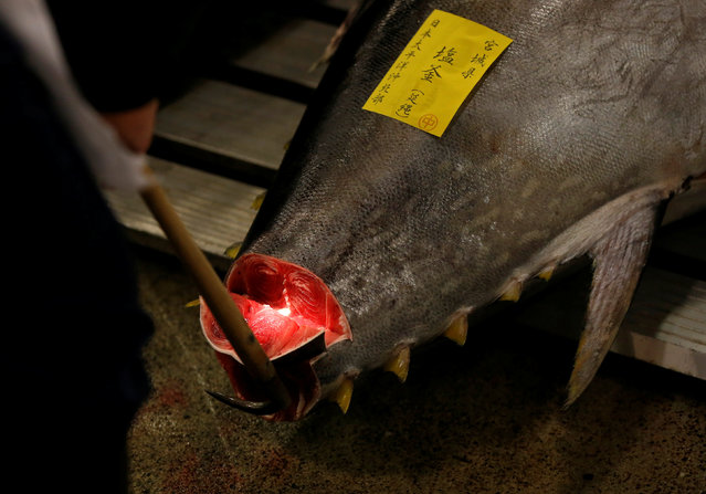 A wholesaler checks the quality of fresh tuna displayed at the Tsukiji fish market before the New Year's auction in Tokyo, Japan, January 5, 2017. (Photo by Issei Kato/Reuters)