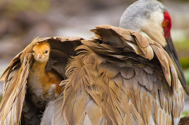 """Hiding In The Shadows"". This Baby Sandhill taking refuge under Moms wings while sitting on her second egg. I witnessed this baby being born earlier that day,and the next morning saw the other one hatch,what a sight to see. Photo location: Deland, Florida. (Photo and caption by Scott Helfrich/National Geographic Photo Contest)"