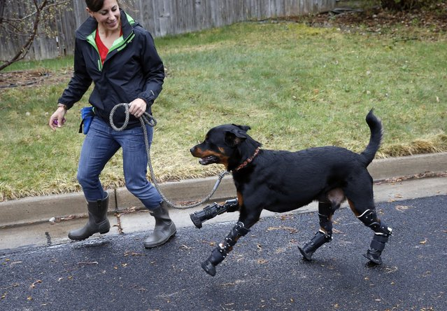 In this April 2, 2015 photo, dog owner Laura Aquilina strolls with her two year old Rottweiler Brutus, who was recently fitted with prosthetics on all four paws, and is currently learning to use them, near Aquilina's home in Loveland, Colo. Brutus lost all four paws to frostbite as a puppy while under care of a breeder, and Aquilina began caring for him about a year ago. (Photo by Brennan Linsley/AP Photo)